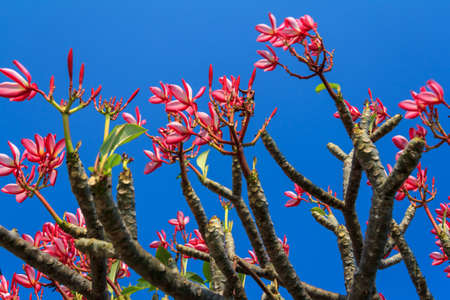 Pink Flower Tree On Blue Sky Background photo