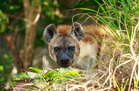 Angry Hyena In The Forest photo