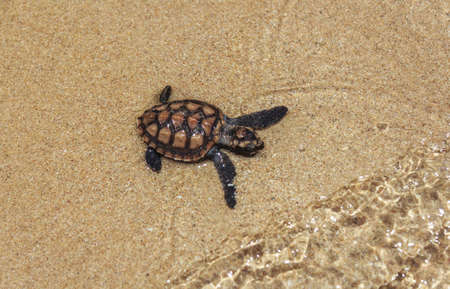 water turtle: Baby Sea Turtle On The Beach