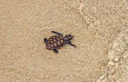 Baby Sea Turtle On The Beach photo