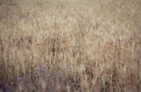 wild oats: Dry Golden Wheat Field Summer Background Stock Photo