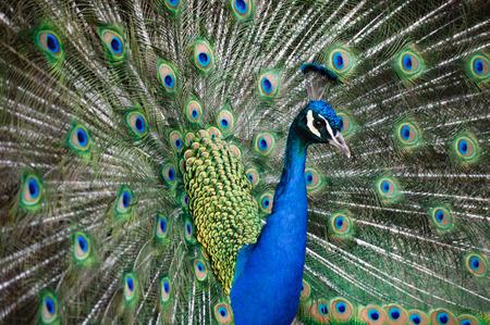 Blauer männlicher Pfau in einem Naturpark mit Federn. Schönes Porträt Standard-Bild