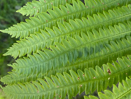 Photography of fern leaves showing discoloration, rusting and damage due to a disease