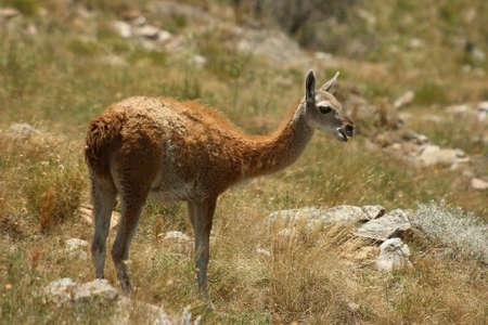 guanaco in Sierra De LA Ventana