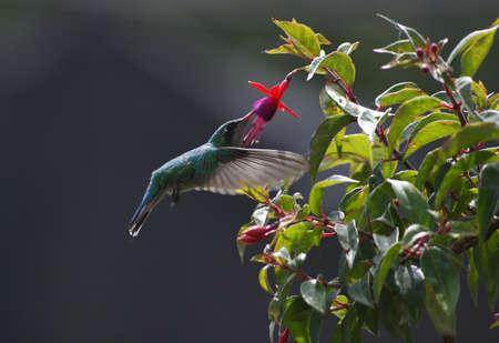 common green hummingbird