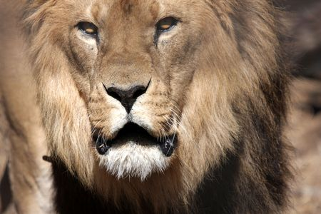 vicious: Angry male lion Stock Photo