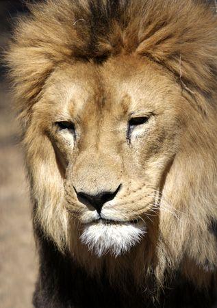 vicious: Male lion Stock Photo
