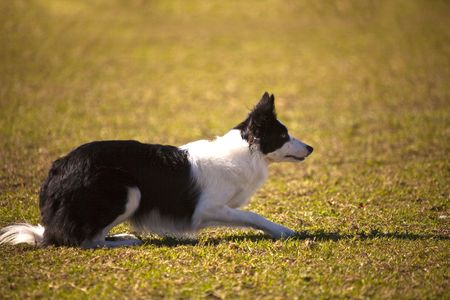 Beautiful border collie lying on the grass