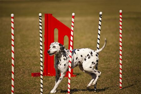 Dalmation on slalom run