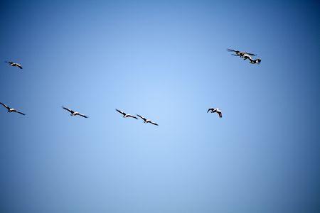 Flock of pelicans in flight Stock Photo - 7561059