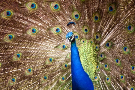 flaunt: Thai Peacock spread the tail feathers.  Stock Photo