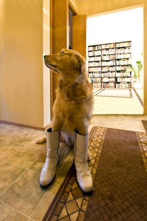 A golden in boot photo