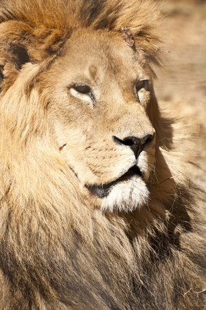 Male Lion Stock Photo - 12176862