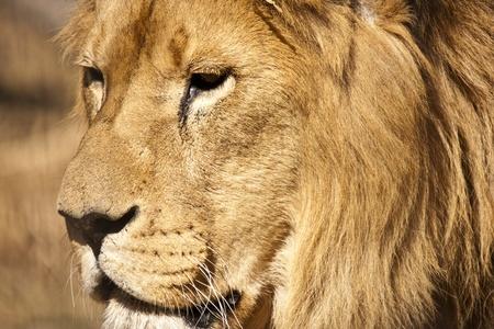 profile: Lion Stock Photo