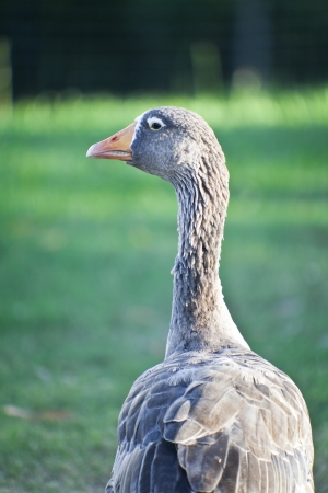 Goose  Farm bird  photo