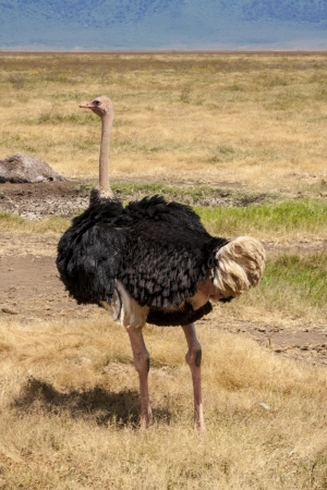 Ostrich In The Wild photo