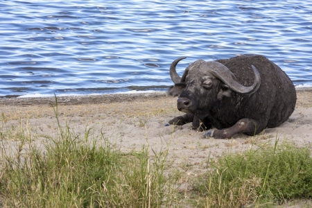 unstoppable: Cape Buffalo By The Water
