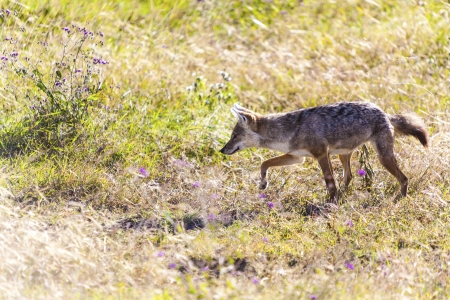 Jackal On The Hunt In The Wild photo
