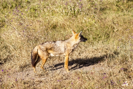 Lonely Hungry Jackal On The Hunt photo