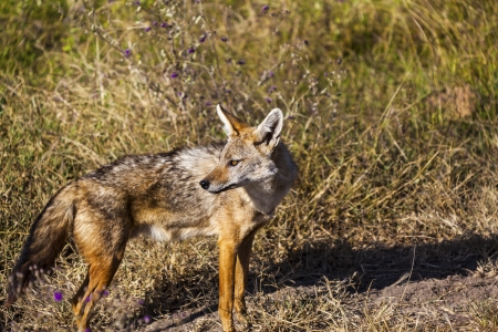 Portrait Of A Jackal photo