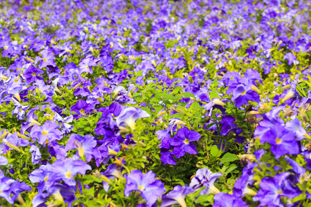 campanula: Beautiful spring background with campanula flowers. Stock Photo