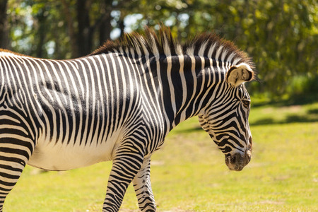 burchell: Grazing Zebra