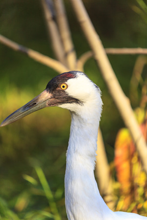 whooping: Whooping Cranes Stock Photo
