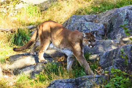 Puma, Cougar or Mountain Lion, Stock Photo - 33674027