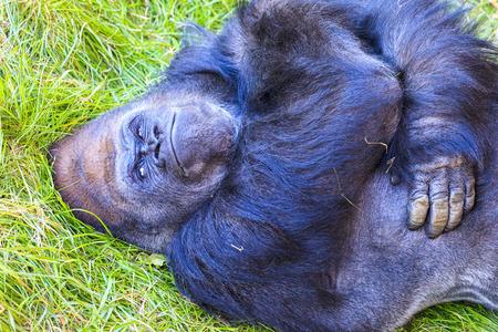 western lowland gorilla: Western lowland gorilla (Gorilla gorilla) Stock Photo