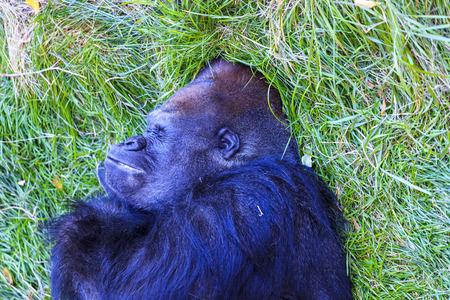 lowland: Western lowland gorilla (Gorilla gorilla) Stock Photo
