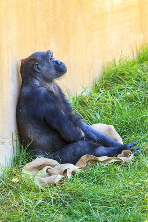 western lowland gorilla: Femmina gorilla di pianura occidentale (Gorilla gorilla) Archivio Fotografico