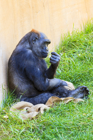 lowland: Female Western lowland gorilla (Gorilla gorilla) Stock Photo