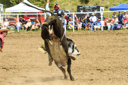 WATER VALLEY CANADA  JUN 6 2015:Unidentified Cowboy participating in the  Bareback Bull RidingWater Valley Rodeo.This annual event is important for the rural as well as the sport loving community.