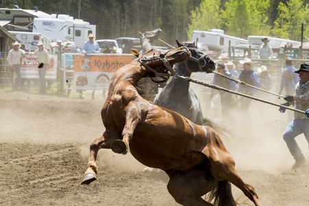WATER VALLEY CANADA  JUN 6 2015:Unidentified Cowboy participating in the  Bareback Bronco Water Valley Rodeo.This annual event is important for the rural as well as the sport loving community. Editorial