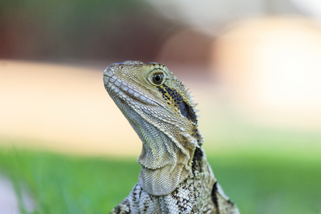 bearded dragon lizard: Australian Bearded Dragon Lizard sunning itself
