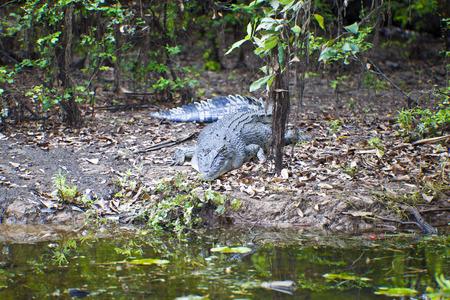 kakadu: Large saltwater crocodile, Yellow water billabong, Kakadu National Park, Northern Territory, Australia Stock Photo