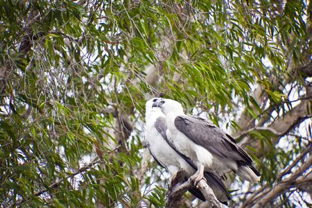 Australia, Aquila dalla coda bianca mare Archivio Fotografico - 52754693