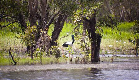 kakadu: Australian jabiru bird by the Yellow River in Kakadu national park, Australia Stock Photo