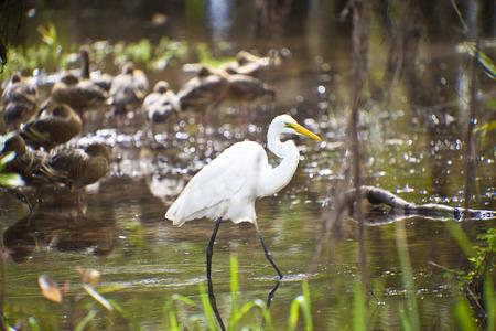 kakadu: Bird Life of Kakadu National Park White Egret, Yellow Waters, billabong, Kakadu National Park, Northern Territory, Australia