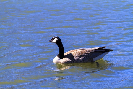 endothermic: Canada Goose In Blue Water