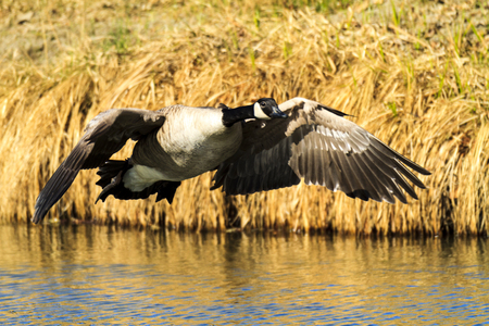 Canada Goose In The Water Stock Photo