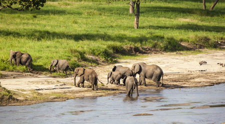 Elephant Family Crossing The River Stock Photo