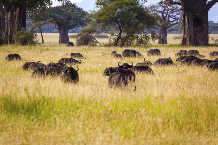 Grazing Cape Buffaloes In Tanzania Stock Photo