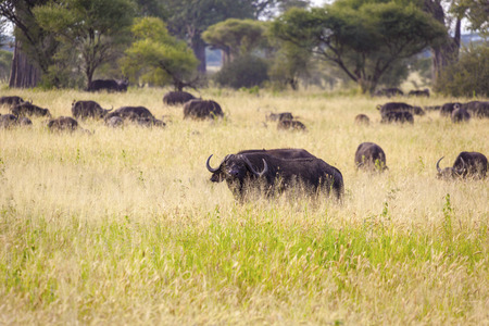 tanzania: Grazing Cape Buffaloes In Tanzania Stock Photo