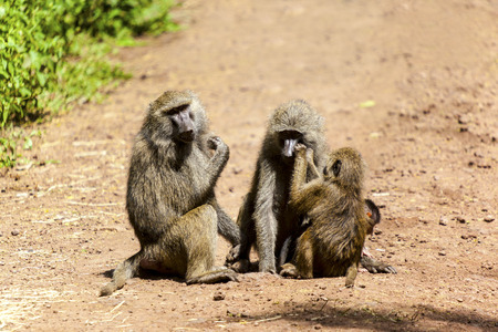 Monkey Family In Tanzania