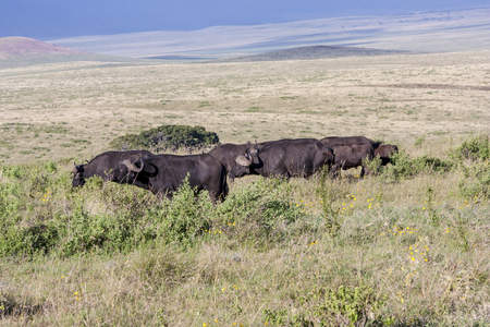 unstoppable: Grazing Cape Buffaloes In Tanzania Stock Photo