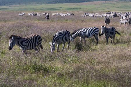 migration: Zebra herd during migration in Serengeti national park Tanzania