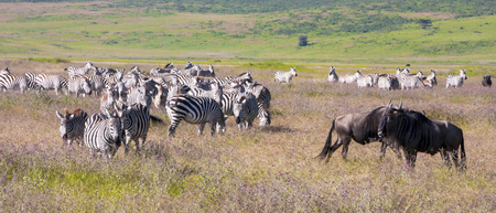 Zebra herd during migration in Serengeti national park Tanzania