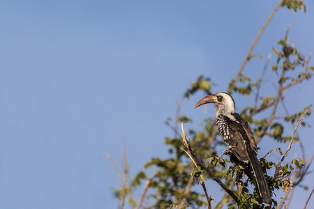 Red-billed Hornbill perched in a tree Tanzania (Tockus erythrorhynchus), Stock Photo