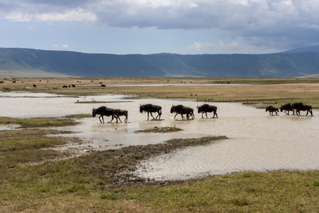 cater: Wildebeests At A Waterhole In Gnorongoro Cater During Migration